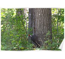 Woodpecker Pecking Poster