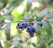Wild Blueberries by Kathi Huff