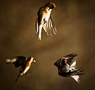 Goldfinch Trio. by igotmeacanon