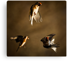 Goldfinch Trio. Canvas Print