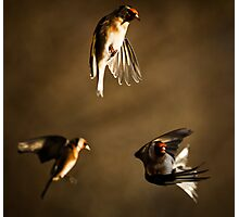 Goldfinch Trio. Photographic Print