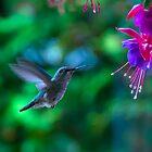 Fine art naturalistic animal photo bird against green background with fuchsia - Hummingbird by visionitaliane