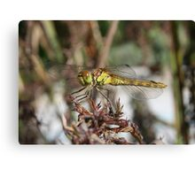 Brown Dragonfly On Husks With Garden Background Canvas Print