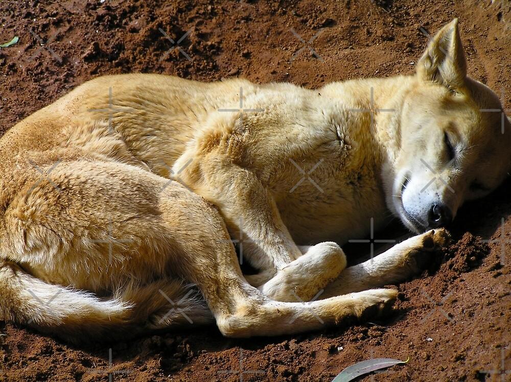 Dingo dog by Sarah Trett