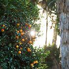 Orange Grove Sun by judsonphoto