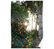 Orange Grove Sun Poster