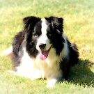 The charming Ollie the Collie.......! by Roy  Massicks