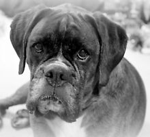 Contemplating My New Years Resolution ~ Boxer Dog Series by Evita
