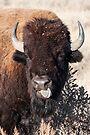 American Bison by Eivor Kuchta