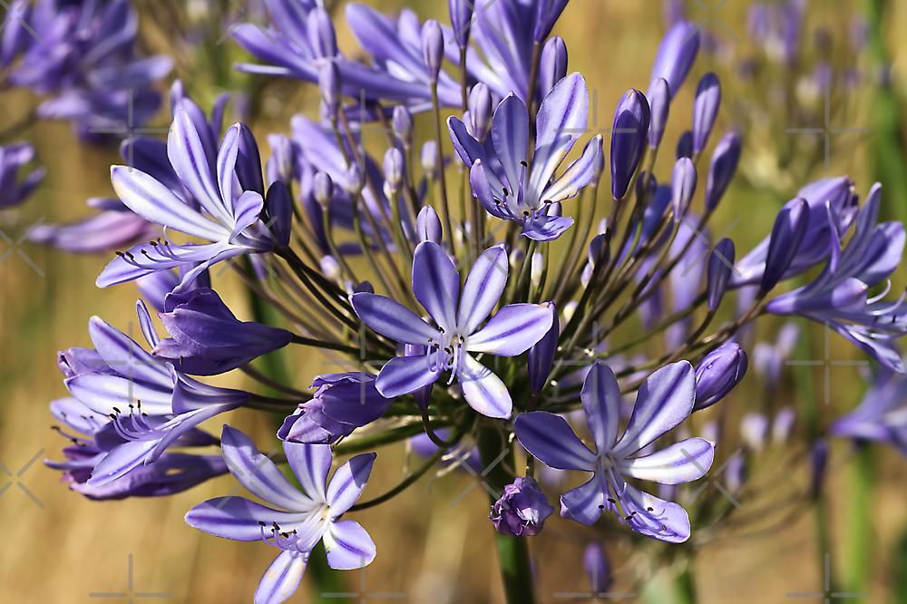 flower-agapanthus-blue by Joy Watson