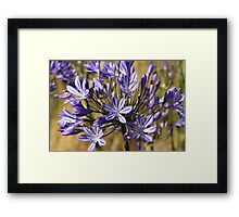 flower-agapanthus-blue Framed Print