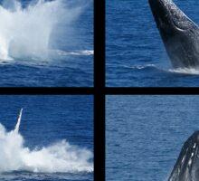 Humpback Whales Breaching 3 Sticker
