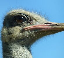 Eye of the Ostrich by vivsworld