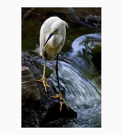 Ruffled feathers Photographic Print