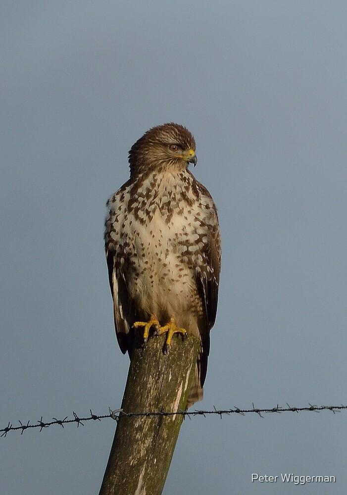 Common buzzard - III by Peter Wiggerman