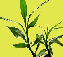 Green lucky bamboo leaves in light green background. by naturematters