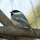 Black Capped Chickadee by KathleenRinker