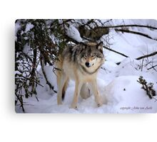 Canadian wildlife: Timber Wolf Canvas Print