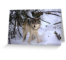 Canadian wildlife: Timber Wolf Greeting Card