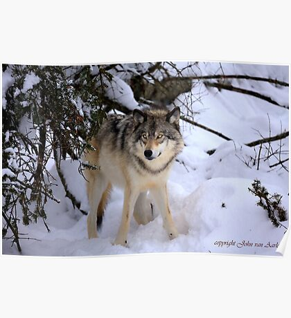 Canadian wildlife: Timber Wolf Poster