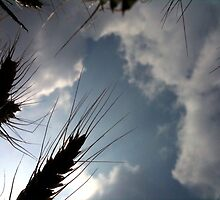Barley in the sky with clouds by Enrico Artuso