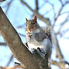 Squirrel by crspix