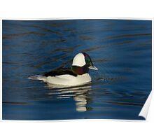 Gorgeous Bufflehead Lake Atlanta, Rogers, Arkansas Poster