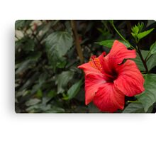 Hibiscus from the Garden of Eden Canvas Print