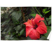 Hibiscus from the Garden of Eden Poster