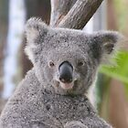 Koala Bear 1 by Gotcha29