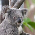 Koala Bear 3 by Gotcha29