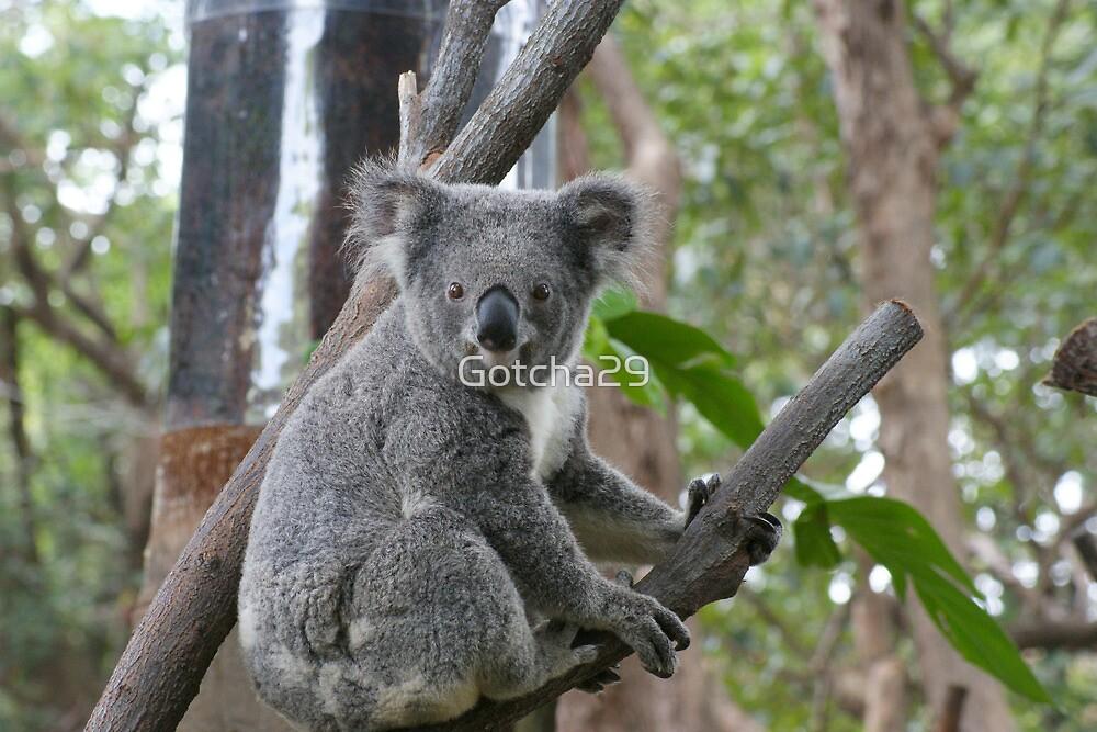 Koala Bear 6 by Gotcha29