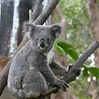 Koala Bear 6 by Gotcha29