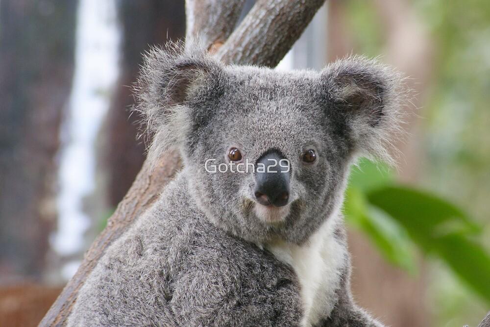 Koala Bear 7 by Gotcha29
