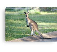 Kangaroo 1 Metal Print
