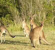 Kangaroo 5 by Gotcha29