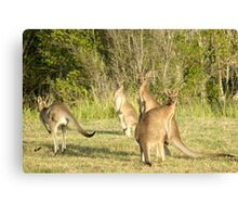 Kangaroo 5 Canvas Print