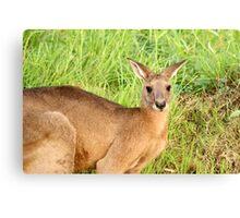 Kangaroo 8 Canvas Print