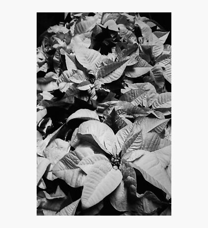 Poinsettia Photographic Print