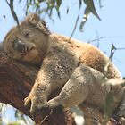 Mr Sleepy the Koala by elm321