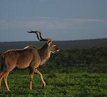 Kudu at Sunset by Ashley Crookes
