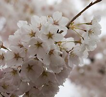A Branch of Pale Pink Sakura Cherry Blossoms - Longing for Spring by Georgia Mizuleva