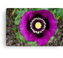 Purpple flower with black and yellow centre Canvas Print