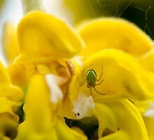 Yellow flower, with green spider and spider web by RealWorldStu