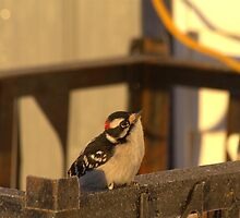 Downy Woodpecker 2 by Kathi Arnell