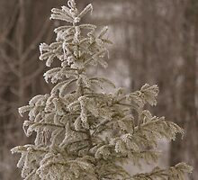 Spruce by Kathi Arnell
