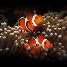 Clown Fish by Mikeb10462