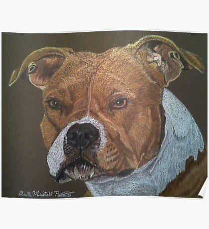 American Pit Bull Terrier Poster