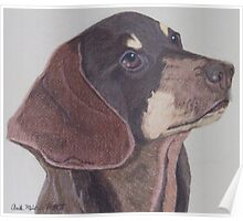 Smooth Coated Dachshund Poster