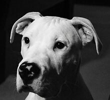 Boxer/Pit puppy B&W by Ccoffey89